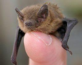 Bats in Ireland